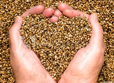 une bonne graine de chanvre pour des produits de qualite