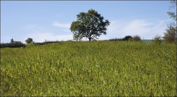 le chanvre, une culture d'avenir chez Bio Chanvre Félinois: bio, cultivé en sans labour et sans irrigation