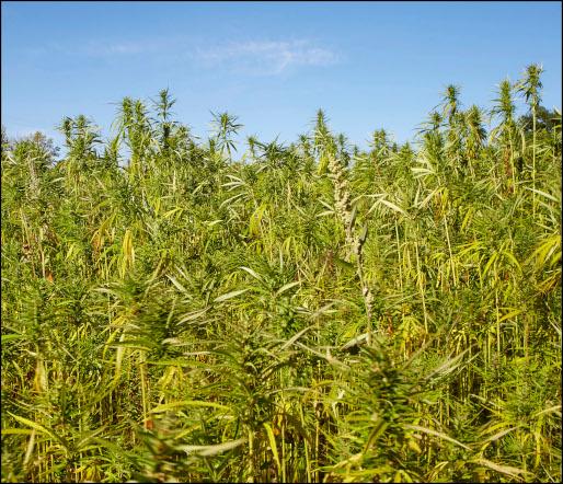 champs de chanvre bio Bio Chanvre Félinois cultivé sans intrant, sans labour